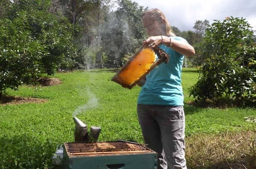 female beekeeper inspecting bees in Hawaii no veil